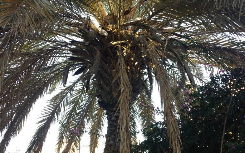 Poda y cepillado de palmera