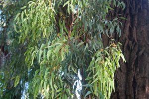 Eucalipto medicinal