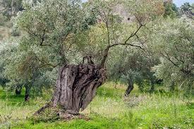 Olivo medicinal